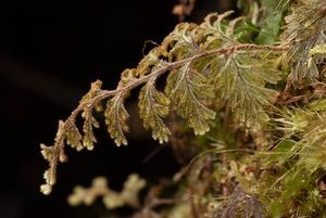 Hymenophyllum frankliniae, a filmy fern which is typically found growing on species of Dicksonia and Weinmannia racemosa. Photo: Mike Thorsen