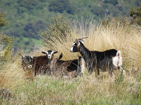 Feral goats feeding in indigenous shrubland, Southland. Photo: Jesse Bythell
