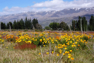 Exotic plants now dominate the landscape in many parts of New Zealand. Photo: Jesse Bythell