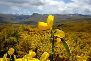 Broom (Cytisus scoparius) invading tall tussock grassland, western Otago. Photo: Jesse Bythell