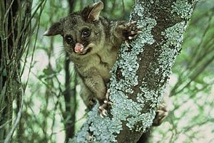 Possums (Trichosurus vulpecula) in New Zealand. Photo: Rod Morris.