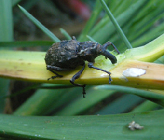 The speargrass weevil (Hadramphus spinipennis) is dependent on the speargrass, but can be locally very damaging: adults eat stems, flowers and leaves; larvae eat roots as well. Photographer: John Sawyer, Mangere May 2009.