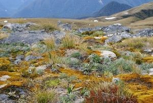 High alpine zone community including herbs, prostrate shrubs, mosses and lichens. Photo: Anne Humburg.