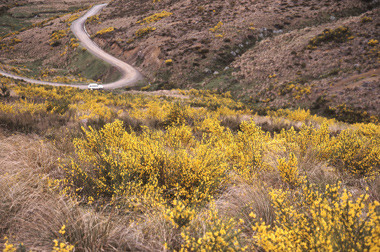 Cytisus scoparius (broom) at Jack's Pass. Photographer: Peter Williams.