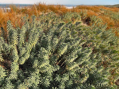 Planted Euphorbia glauca and pingao on the restored Tavora dunes: John Barkla.