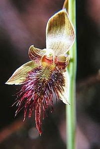 Bearded orchid (Calochilus robertsonii) is commonly found in geothermal areas. Photo: Ian St George