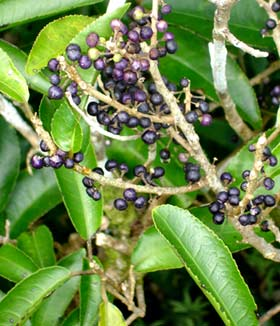 NZ Native Melicytus ramiflorus Whiteywood 50 seeds Mahoe