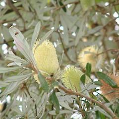 Banksia Integrifolia New Zealand Plant Conservation Network
